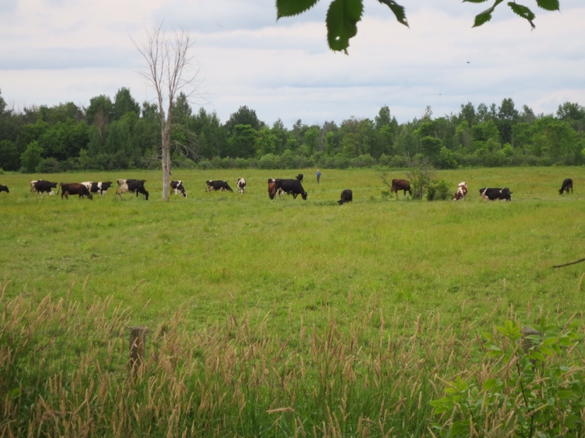 A dairy farmer getting his cows for milking. He tied ropes across the trail to guide them across to the barn.